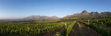 Vineyards Near Stellenbosch in the Western Cape, South Africa, Africa Fotografisk tryk af Alex Treadway