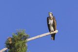 Osprey (Pandion Haliaetus) Perched at End of a Long Branch Extending from Pine Tree, Orleans Forest Papier Photo par Garry Ridsdale
