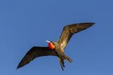 Adult Male Magnificent Frigatebird (Fregata Magnificens), San Gabriel Bay, Espiritu Santo Island Photographic Print by Michael Nolan