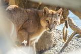 Puma (Puma Concolor) (Wild Puma), Patagonia, Chile, South America Photographic Print by Pablo Cersosimo