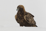 Adult Golden Eagle (Aquila Chrysaetos) Surrounded by Snow During a Harsh Winter in the Taiga Forest Photographic Print by Garry Ridsdale
