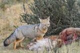 Grey Fox (Lycalopex Gymnocercus), Patagonia, Chile, South America Photographic Print by Pablo Cersosimo