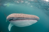 Whale Shark (Rhincodon Typus,) Filter Feeding Underwater Off El Mogote, Near La Paz Photographic Print by Michael Nolan