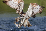 Osprey (Pandion Haliaetus) Flying Head on Above a Pond with a Fish Firmly Grasped in its Talons Papier Photo par Garry Ridsdale