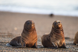 South American Sea Lion (Otaria Flavescens) Pups, Patagonia, Argentina, South America Photographic Print by Pablo Cersosimo