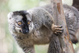 Common Brown Lemur (Eulemur Fulvus), Lemur Island, Andasibe National Park, Madagascar, Africa Photographic Print by Matthew Williams-Ellis