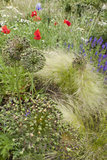 The Natural Mixed Planting in a Front Garden Includes Poppy Grasses and Lychnis Coronaria Photo by Pedro Silmon