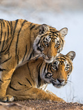 India Rajasthan, Ranthambhore. a Female Bengal Tiger with One of Her One-Year-Old Cubs. Photographic Print by Nigel Pavitt