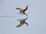 Brazil, Pantanal, Mato Grosso Do Sul. a Black Skimmer Flies Low over the Rio Negro River. Papier Photo par Nigel Pavitt