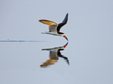 Brazil, Pantanal, Mato Grosso Do Sul. a Black Skimmer Flies Low over the Rio Negro River. Photographic Print by Nigel Pavitt