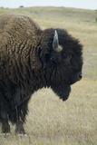 Buffalo, Buffalo Gap, Great Plains, South Dakota Photo by Natalie Tepper