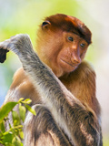 Indonesia, Central Kalimatan, Tanjung Puting National Park. a Female Proboscis Monkey. Photographic Print by Nigel Pavitt