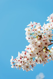 Asia, Republic of Korea, South Korea, Jeju Island, Jeju City, Spring Cherry Blossom Photographic Print by Christian Kober