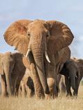Kenya, Taita-Taveta County, Tsavo East National Park. a Herd of Elephants. Fotografisk tryk af Nigel Pavitt