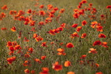 Uk. Wiltshire. Marlborough Downs. Poppies in the Evening Sun. Fotodruck von Niels Van Gijn
