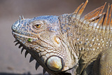 Costa Rica. a Green Iguana. Photographic Print by Nick Laing