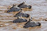Kenya, Narok County, Masai Mara National Reserve. Zebras Swim across the Mara River. Photographic Print by Nigel Pavitt