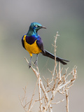 Kenya, Taita-Taveta County, Tsavo East National Park. a Golden-Breasted Starling Photographic Print by Nigel Pavitt