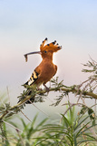 Uganda, Kidepo. an African Hoopoe with a Grub in its Bill Perched Fotografisk tryk af Nigel Pavitt