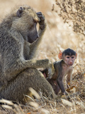 Kenya, Taita-Taveta County, Tsavo East National Park. an Olive Baboon with Her Baby. Photographic Print by Nigel Pavitt