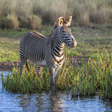 Kenya, Lewa Conservancy, Meru County. a Grevys Zebra Stands in a Stream in Lewa Conservancy. Photographic Print by Nigel Pavitt