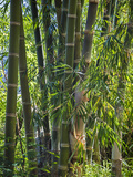 Indonesia, Flores Island, Ruteng a Clump of Stout Bamboo Growing Near Ruteng. Photographic Print by Nigel Pavitt