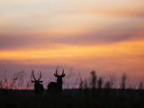 Uganda, Kidepo. Two Male Waterbucks Silhouetted Against a Dawn Sky in Kidepo Valley National Park. Fotografisk tryk af Nigel Pavitt