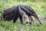 Brazil, Pantanal, Mato Grosso Do Sul. the Giant Anteater or Ant Bear Impressão fotográfica por Nigel Pavitt
