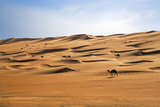 Oman, Wahiba Sands. Camels Belonging to Bedouins Cross Sand Dunes in Wahiba Sands. Photographic Print by Nigel Pavitt