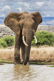 Kenya, Meru County, Lewa Conservancy. a Bull Elephant at a Waterhole. Fotografisk tryk af Nigel Pavitt