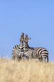 Kenya, Meru County, Lewa Wildlife Conservancy. Two Common Zebra Stallions Braying. Photographic Print by Nigel Pavitt