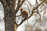 Uganda, Kidepo. a Patas Monkey in the Kidepo Valley National Park Photographic Print by Nigel Pavitt