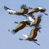Uganda, Sipi. Grey Crowned Cranes in Flight. This Striking Species Is the National Bird of Uganda. Reprodukcja zdjęcia autor Nigel Pavitt