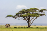 Kenya, Kajiado County, Amboseli National Park. an African Elephant Approaches a Large Acacia Tree. Photographic Print by Nigel Pavitt