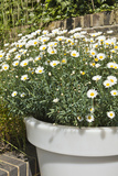 Planter with Marguerites in the Garden, London Photo by Pedro Silmon