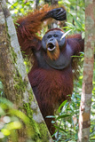 Indonesia, Central Kalimatan, Tanjung Puting National Park. a Male Orangutan Calling. Photographic Print by Nigel Pavitt