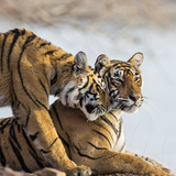 India, Rajasthan, Ranthambhore. a Female Bengal Tiger Is Greeted by One of Her One-Year-Old Cubs. Reprodukcja zdjęcia autor Nigel Pavitt