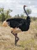 Kenya, Taita-Taveta County, Tsavo East National Park. a Male Somali Ostrich. Photographic Print by Nigel Pavitt