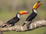 Brazil, Pantanal, Mato Grosso Do Sul. a Pair of Spectacular Toco Toucans Feeding. Reproduction photographique par Nigel Pavitt