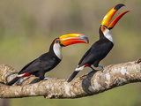 Brazil, Pantanal, Mato Grosso Do Sul. a Pair of Spectacular Toco Toucans Feeding. Photographic Print by Nigel Pavitt