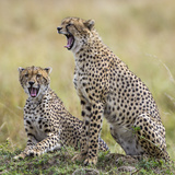 Kenya, Masai Mara, Narok County. Cheetahs Yawn in Unison. Photographic Print by Nigel Pavitt