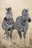 Kenya, Masai Mara, Narok County. Two Common Zebras on the Dry Grasslands of Masai Mara. Photographic Print by Nigel Pavitt