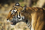 India, Rajasthan, Ranthambore. Profile of a Tigress. Photographic Print by Katie Garrod