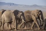 Kenya, Amboseli National Park. a Breeding Herd of Elephant. Fotodruck von Niels Van Gijn
