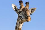 Kenya, Narok County, Masai Mara. a Young Maasai Giraffe. Fotografisk tryk af Nigel Pavitt