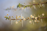 Kenya, Shaba National Park. Acacia Tree in Bloom Fotodruck von Niels Van Gijn