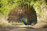 India, Rajasthan, Ranthambore. a Peacock Displaying. Photographic Print by Katie Garrod