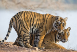 India, Rajasthan, Ranthambhore. a Female Bengal Tiger with One of Her One-Year-Old Cubs. Reprodukcja zdjęcia autor Nigel Pavitt