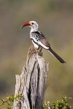 Kenya, Laikipia County, Suiyan. a Red-Billed Hornbill. Photographic Print by Nigel Pavitt