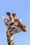 Kenya, Narok County, Masai Mara. a Young Maasai Giraffe. Photographic Print by Nigel Pavitt